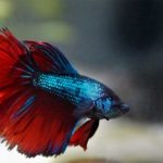 17 Types of Betta Fish – Colors, Patterns, and Tails
