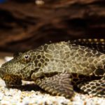 Aquarium Catfish: Your Ultimate Guide to Caring for these in your Freshwater Tank