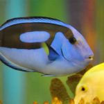 Everything That You Need To Know About The Blue Tang