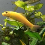 Golden Algae Eater: Everything You Need To Know
