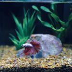 How Often Should You Change The Water In Your Betta Fish Tank?