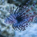 Lionfish Care Guide – Learn The Best Practices