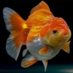 The Ultimate Care Guide For Lionhead Goldfish