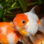 What To Do And What To Look Out For With A Pregnant Goldfish
