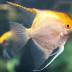 Discover What Colorful Fish are Compatible Tankmates of Angelfish