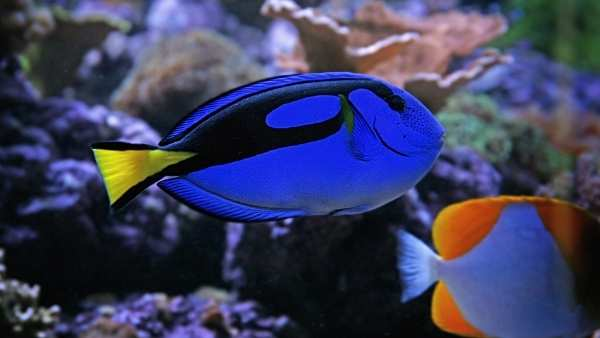 Blue Tang Guide