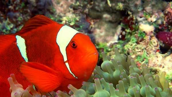 Clownfish Facts and Information