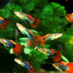 Top 10 Compatible Guppy Tank Mates That Will Brighten Up Your Aquarium