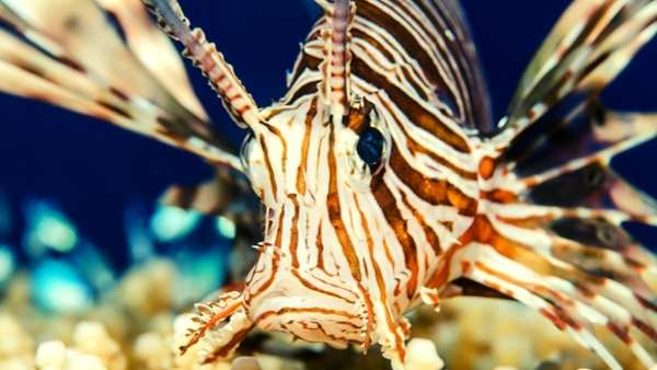 Lionfish Care Guide