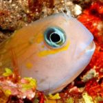 The Midas Blenny: Learn Everything There Is To Know About This Species of Marine Fish