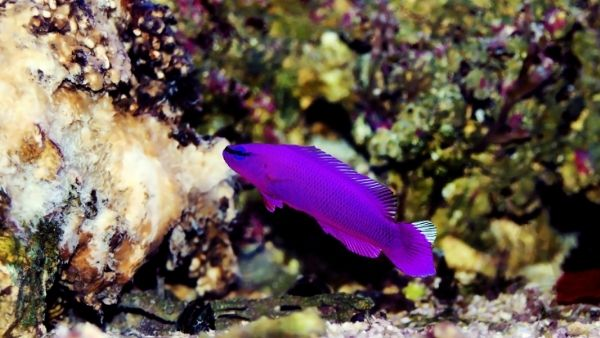 Orchid dottyback guide