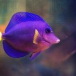 Purple Tang Guide: Everything You Need to Know