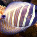 Sailfin Tang: The Ultimate Guide for This Unique Fish