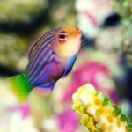 Six Line Wrasse: Discover Everything About This Popular Colorful Reef Safe Fish